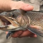 brook trout fly fishing asheville
