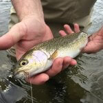 dry flies for rainbow trout