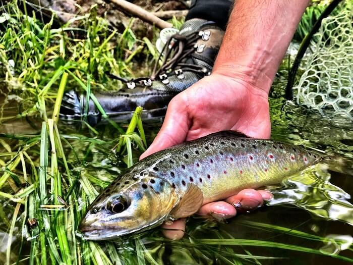 wild brown trout in nc