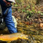 brown trout fly fish